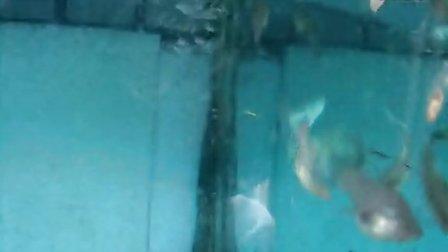 蓝草尾缎带孔雀鱼