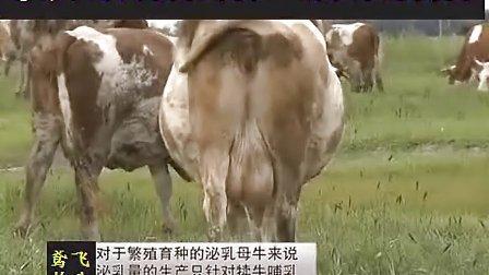 养牛技术 西门塔尔牛品种选育