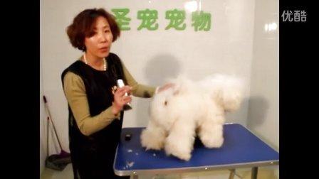 宠物美容师培训学校_比熊犬修剪肛门修剪教程_圣宠宠物美容学校