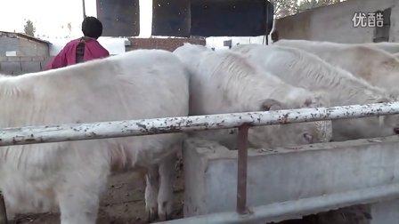 夏洛莱牛养殖技术 夏洛莱牛养殖场 肉牛养殖视频