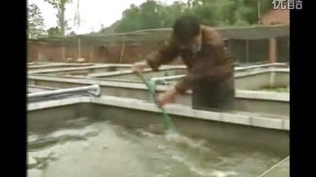 四川农业养殖项目-养殖黄鳝视频