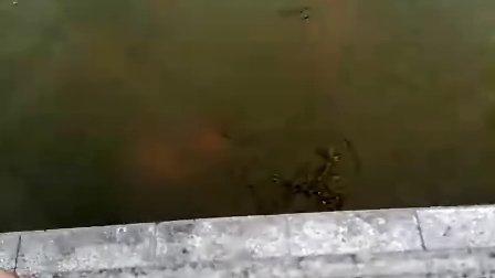 看它是怎么捕鱼的