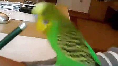 搞笑动物!满口脏话的鹦鹉