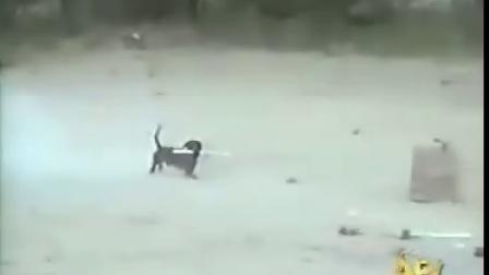 会放炮竹的可爱狗狗