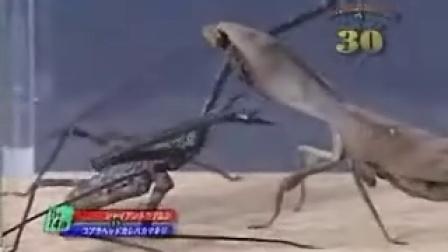 世界最强昆虫名将之进14决定战 鞭蝎PK枯叶螳螂