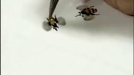 花鸟画技法 05 蜜蜂