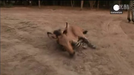 【youtube奇趣精选】猎奇!墨西哥母斑马与驴交配产下罕见斑驴
