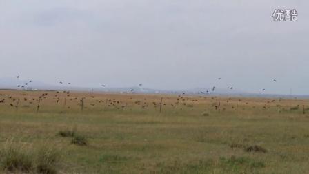 草原上成群的老鸹