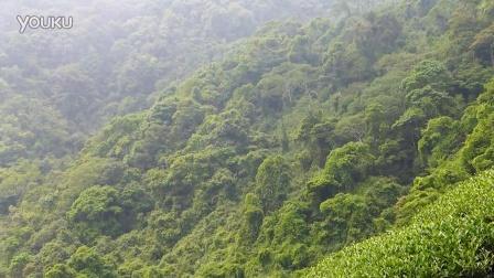 悟和轩茶树的种植环境