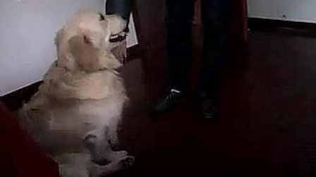 超级搞笑的金毛狗狗经典爆笑与人交配