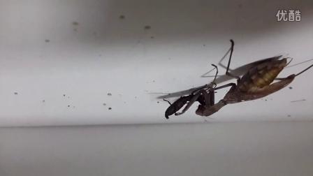 广斧螳螂vs鞭蝎幼体练习颈椎的最高境界