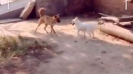 狗女女打架