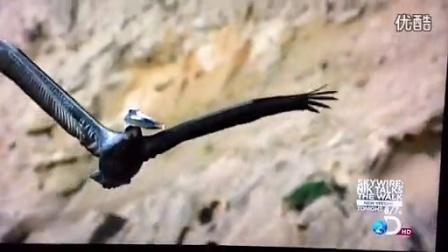【中华鹰鹘苑】游隼护巢爆踢鹈鹕,鹰猎视频,鸭虎,鸽鹘