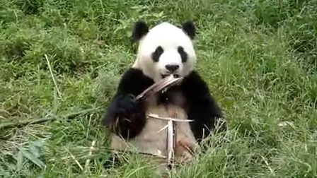 给力的熊猫MOV04908