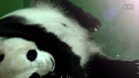 """长隆熊猫""""三胞胎""""或创世界存活纪录"""