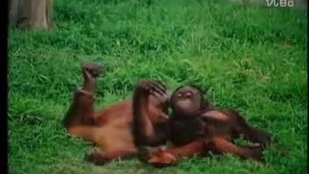 搞笑黑猩猩交配和人一样