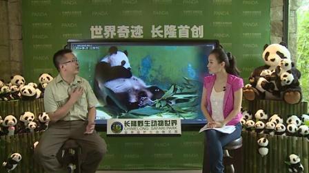 8月23日熊猫三胞胎直播