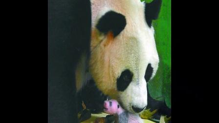熊猫三胞胎成长记录