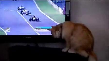 猫咪也爱看赛车!挥爪~