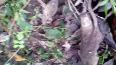 今天的沙窝中大老鼠
