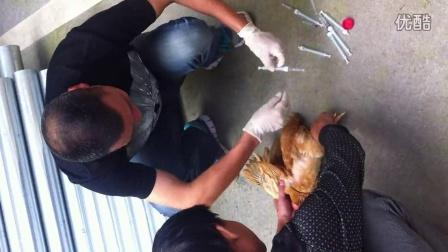 鸡心脏采血动作分解