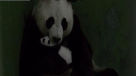 熊猫三胞胎视频20140903