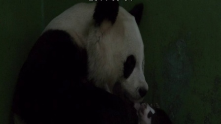 熊猫三胞胎视频20140904