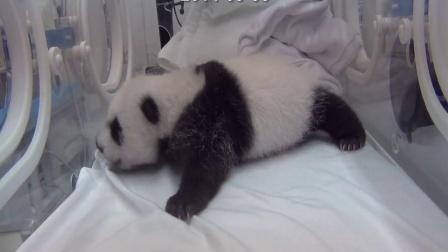 熊猫三胞胎视频20140906