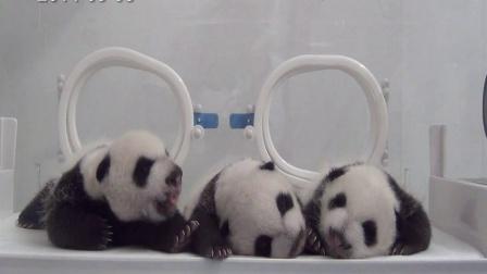 熊猫三胞胎视频20140908