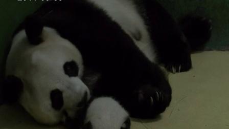 熊猫三胞胎视频20140909