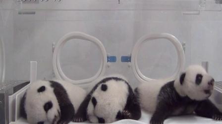 熊猫三胞胎视频201409010