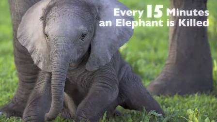 Why we MUST save elephant