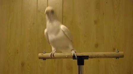 养这种鸟 早晚有一天会被它笑死