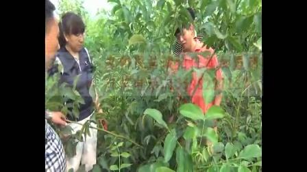 邓州市春伟核桃苗种植核桃嫁接核桃果园核桃树培训视频课程2