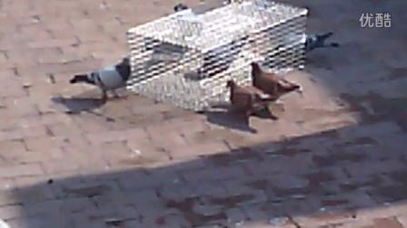 鑫钰制造---人道折叠式连续自动捕鸽子、斑鸠、野鸡、乌鸦笼
