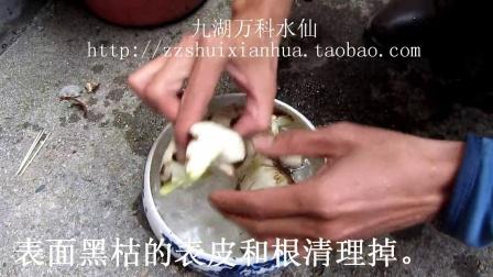 漳州水仙花已雕刻,未泡水水仙花种球养护教程