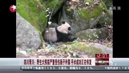 四川青川:野生大熊猫严重受伤肠子外露  手术成功正在恢复[东方午新闻]
