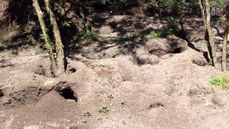 奥兰多迪斯尼动物王国的鼹鼠