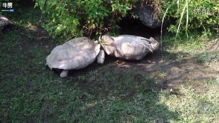 """一只象龟四脚朝天 仗义龟伙伴""""顶壳""""救援"""