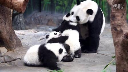 熊猫三胞胎团聚