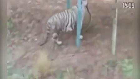 印度白虎大战眼镜蛇 老虎中毒身亡眼镜蛇重伤