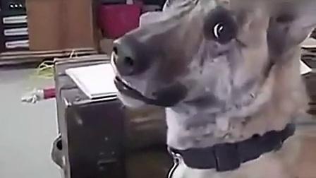 搞笑视频集锦动物 搞笑动物配音 把狗狗调戏到崩