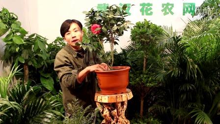 茶花的养护方法    武汉花卉植物三环送货上门  武汉花卉租摆   武汉花卉租赁