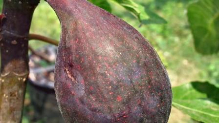无花果品种-小河a few fig varieties