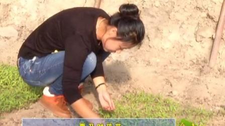 2014年12月23日《金土地》第三十期 《春季提早西红柿育苗技术》