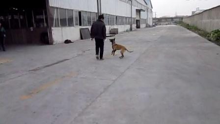 马犬(板)直女(欢)玩耍训练1