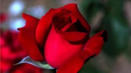 美丽的红玫瑰花精选图片集