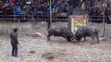 广西三江独峒平流斗牛2013正月初一2