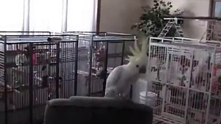 A cockatoo dancing to Queen