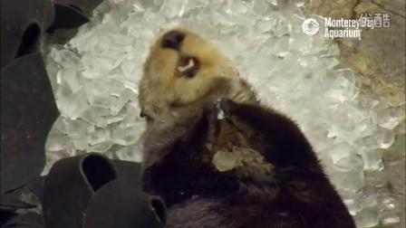 让人哑然失笑!吃了冰块以为是贝壳的水獭,惊奇的表情太萌了~
